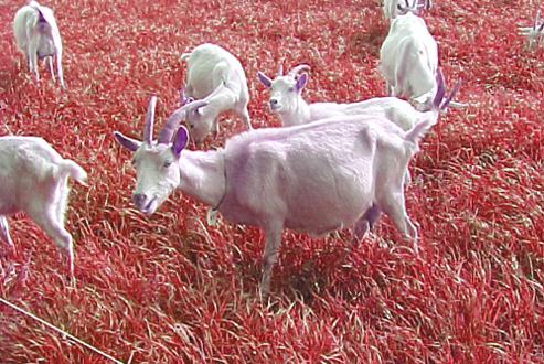 goat_12